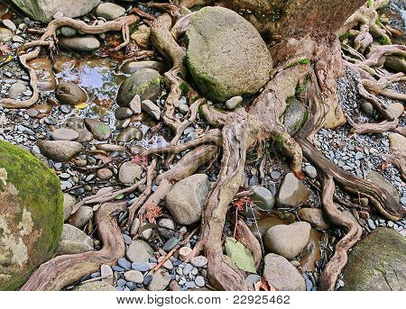 Gnarled tree roots, rocks, and pebbles