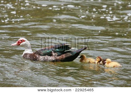 Mother Duck and three of her ducklings