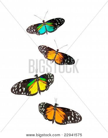 Tiger Longwing Butterflies