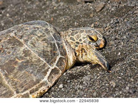 Green Sea Turtle On Black Sand Beach
