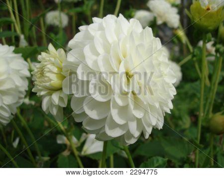 White Dalia