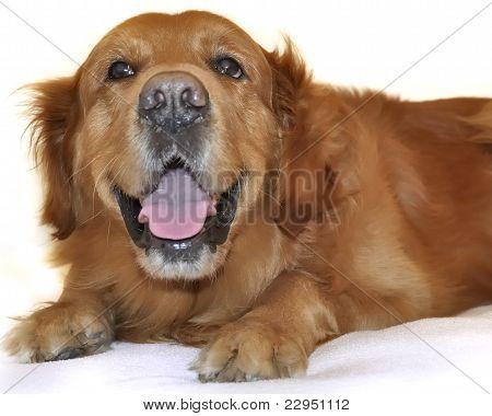 Golden Retriever Dog Very Funny Face.