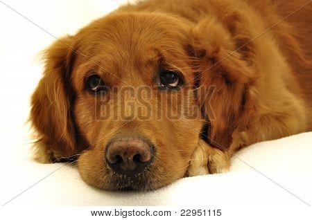 Golden Retriever Dog Very Expressive Face Close Up.