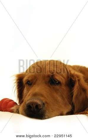 Golden Retriever Lying With Toy.