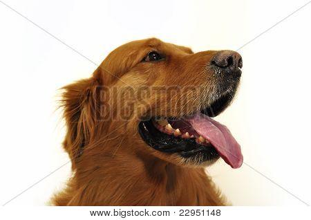 Golden Retriever Labrador Face Close Up.