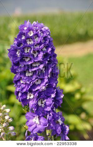 Purple Larkspur Delphinium