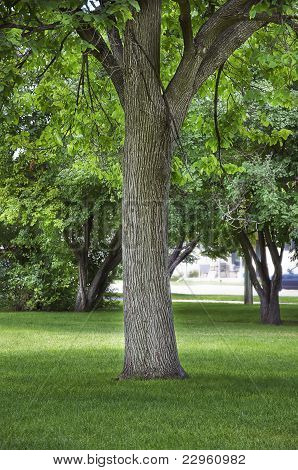 Large Cottonwood Shade Tree In A City Park
