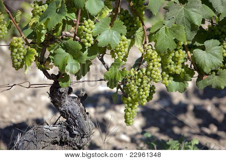 White Wine Grapes In A French Vineyard