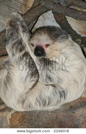Two Toed Sloth 2