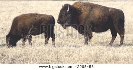 Bull And Cow Bisonx
