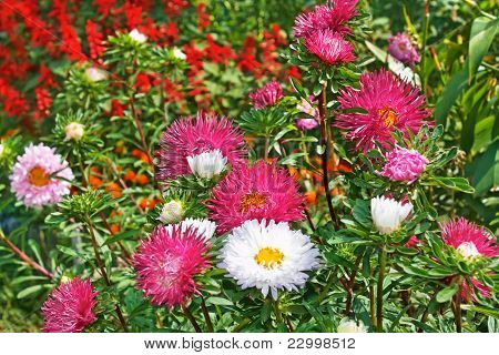Motley Colourful Asters
