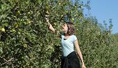 Teenage girl picking apples in orchard. poster
