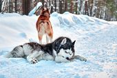 Husky Dog Cleaning Out Snow From Paws. Siberian Husky With Blue Eyes Walks In Suunny Winter Forest. poster
