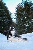 Beautiful Husky Dog Lies On Snow In Winter Coniferous Forest. Noble Black And White Siberian Husky W poster