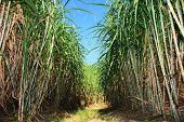 picture of sugar industry  - Narrow path between sugar cane field plantation - JPG