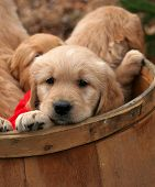 stock photo of golden retriever puppy  - adorable golden retriever puppies with red bows in a barrel - JPG