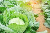 Fresh Cabbage In Harvest Field. Cabbage Are Growing In Garden. poster