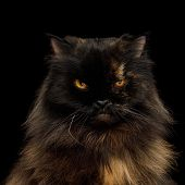 Portrait Of Angry Persian Cat, Red With Brown Fur, Gazing On Isolated Black Background poster