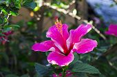 Pink Hibiscus Flower On Green Branch. Pink Flower With Green Leaf. Blooming Tropical Garden Detail.  poster