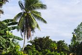 Palm Tree Landscape On Blue Sky Background. Coco Palm Tree Top With Coconuts. Green Tropical Island  poster