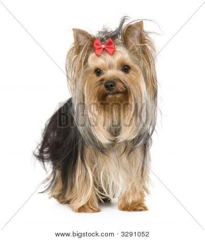 Yorkshire Terrier (15 meses)