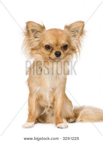 Chihuahua (1 ano)