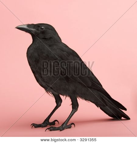 Vyoung Carrion Crow - Corvus Corone (3 Months) In Front Of A Pink Background