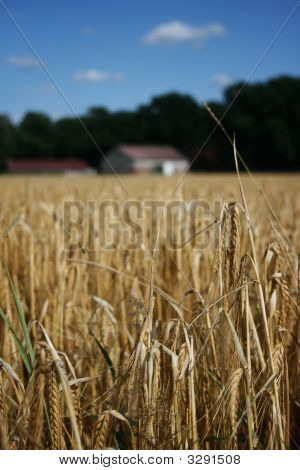 Wheat Field With Farmhouse