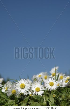 Daisies In The Sunshine.