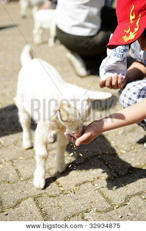 Child Feeding A Lamb
