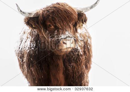 Scottish highland cow in snow