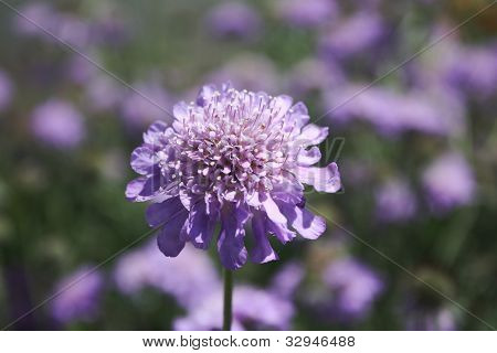 Pincushion Perennial
