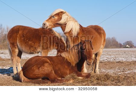 Three Brown Horses With Long Blonde Manes
