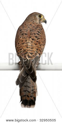Common Kestrel, Falco tinnunculus, a bird of prey, perching in front of white background