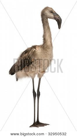 Chilean Flamingo, Phoenicopterus chilensis, 5 months old, standing in front of white background