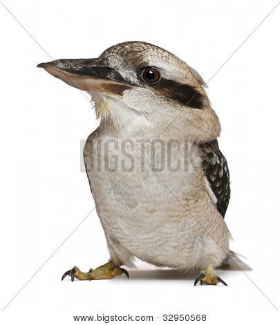 Laughing Kookaburra, Dacelo novaeguineae, a carnivorous bird in the kingfisher family, standing in front of white background