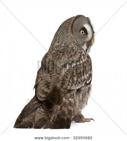 Great Grey Owl or Lapland Owl, Strix nebulosa, a very large owl, standing in front of white background