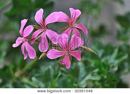 Pink Blooming Pelargonium Peltatum