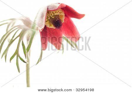 Nodding anemone