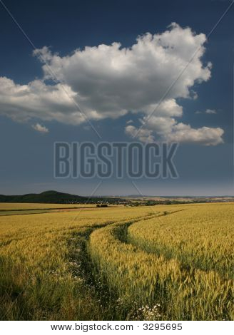 Barley Field In Germany, Gerstenfeld Bei Kassel