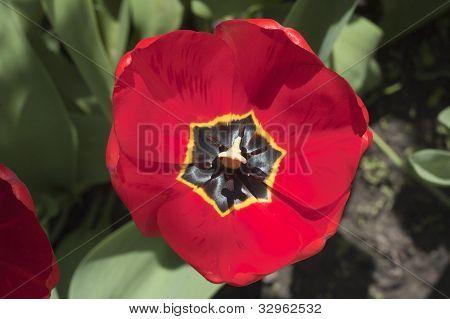 Tulip torus