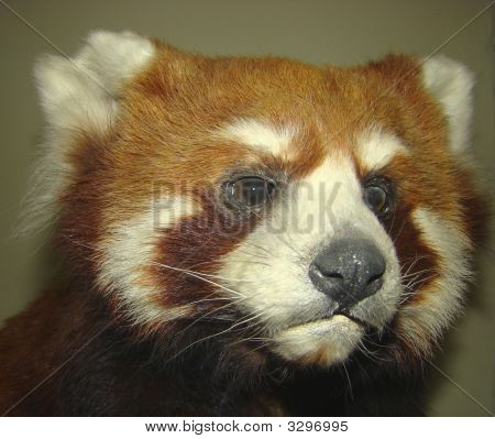 Red Or Small Panda Ailurus Fulgens The Relative Of Raccoons