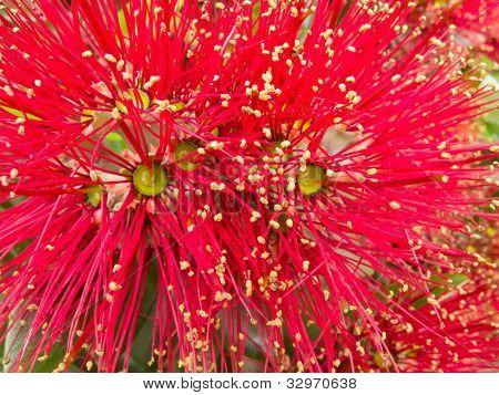 Closeup blossoms of NZ Christmas Tree Pohutukawa