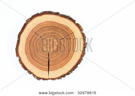 Crossection of an oak tree trunk
