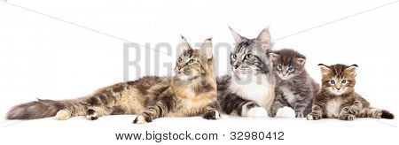 Group of cats and kitten  Maine Coon  in front of a white background