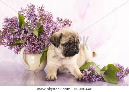 close-up portrait pug puppy and  spring lilacs flowers