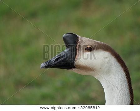 Canada goose closeup head shot