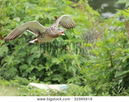 Duck quacking in flight