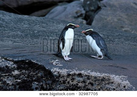 Fiordland Crested Penguin (eudyptes Pachyrhynchus)