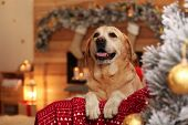 Cute Dog On Sofa In Room Decorated For Christmas. Adorable Pet poster